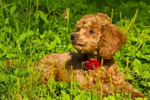 Gefahren für Pudel Welpen im Garten