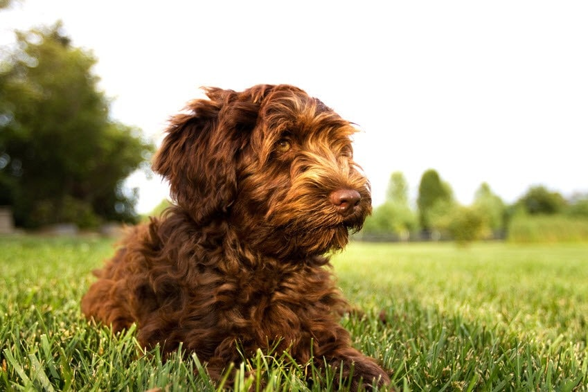 Pudel Mix Pudel Mischling Labradoodle
