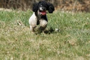 Pudel Abwechslung Spielen Intelligenter Hund
