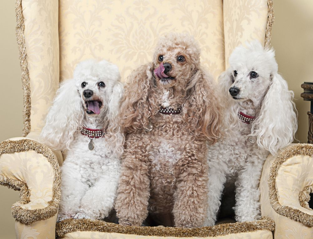 Dogs Look Like Poodles