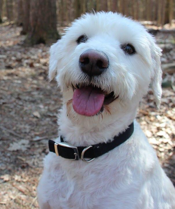 Schnoodle: Ein Hybridhund aus Pudel und Schnauzer.
