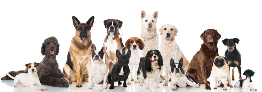 Lebensdauer des Pudel im Vergleich mit anderen Hunderassen