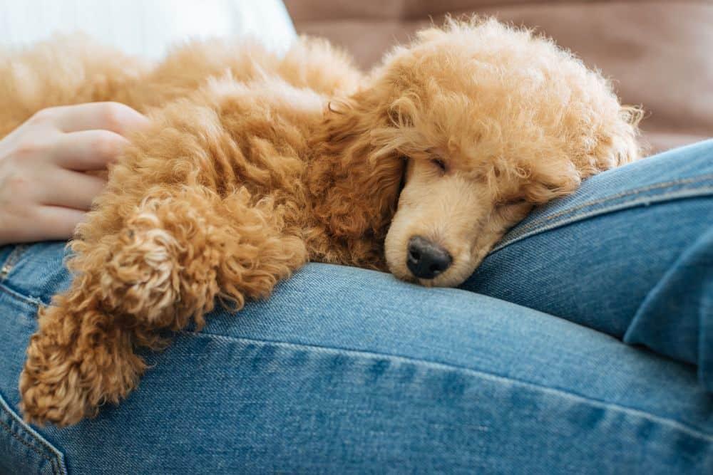 Pudel schläft auf den Beinen einer Frau