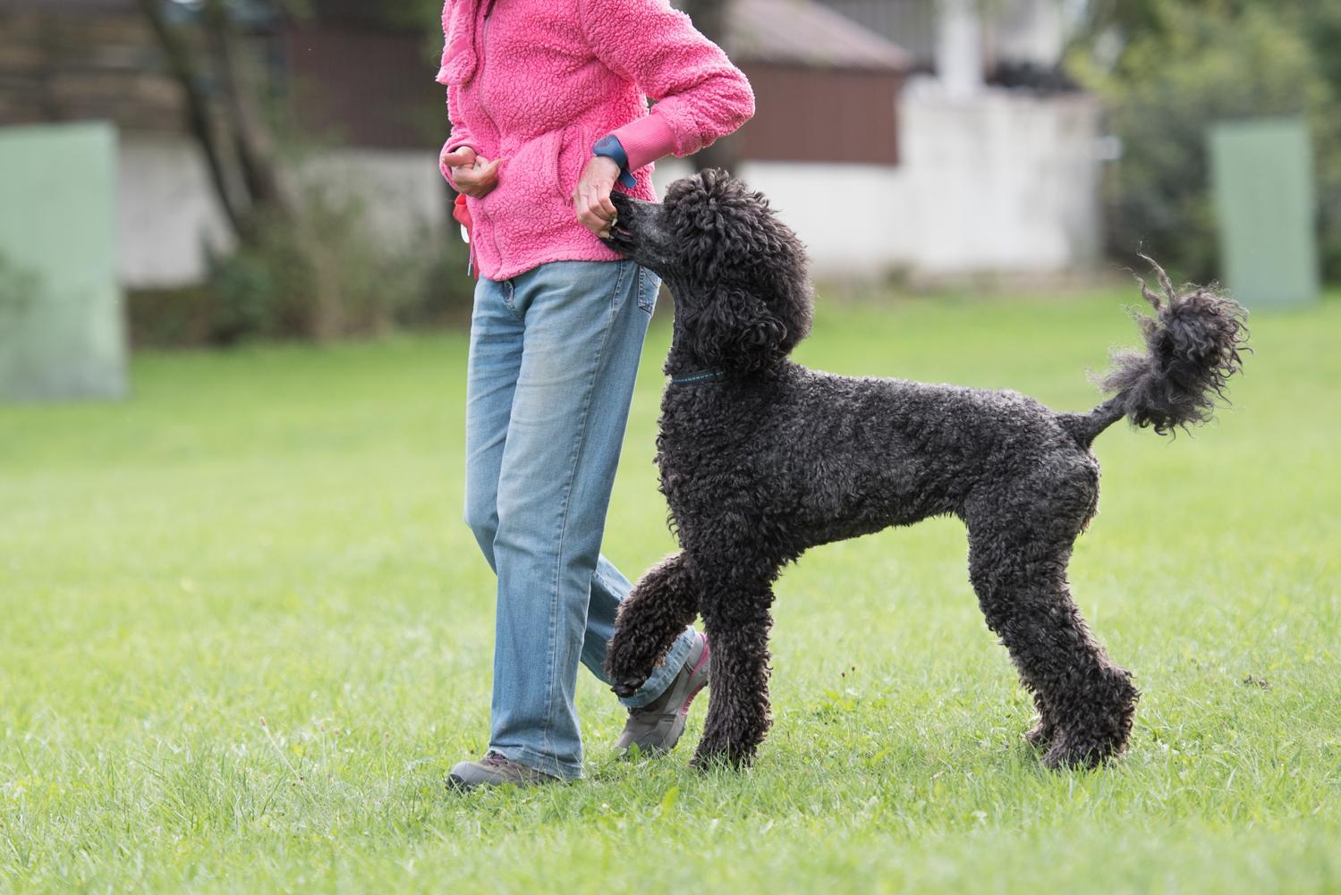 Königspudel - Großpudel beim Hundesport